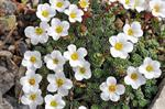 Saxifraga marginata